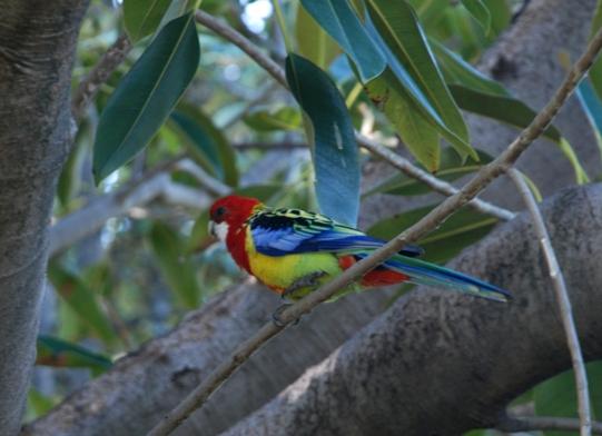 pappagallo-2