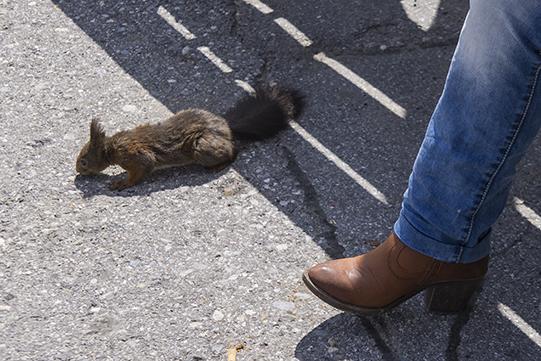 arosa scoiattolo