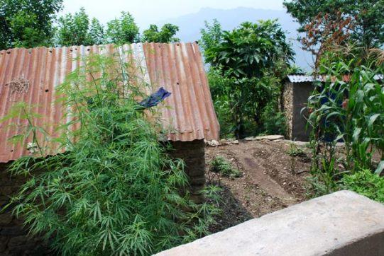 marijuana-nepal