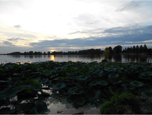 Parco di Mantova – fiori di loto