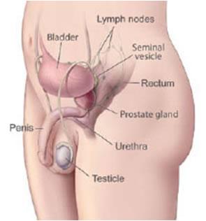 prostata sex penis lengde