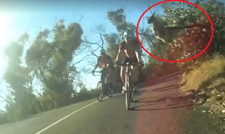 ciclista colpito da canguro