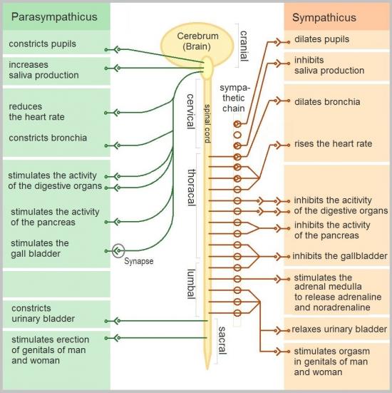 Tabella sistema nervoso autonomo