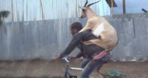 trasporto di una capra su bici