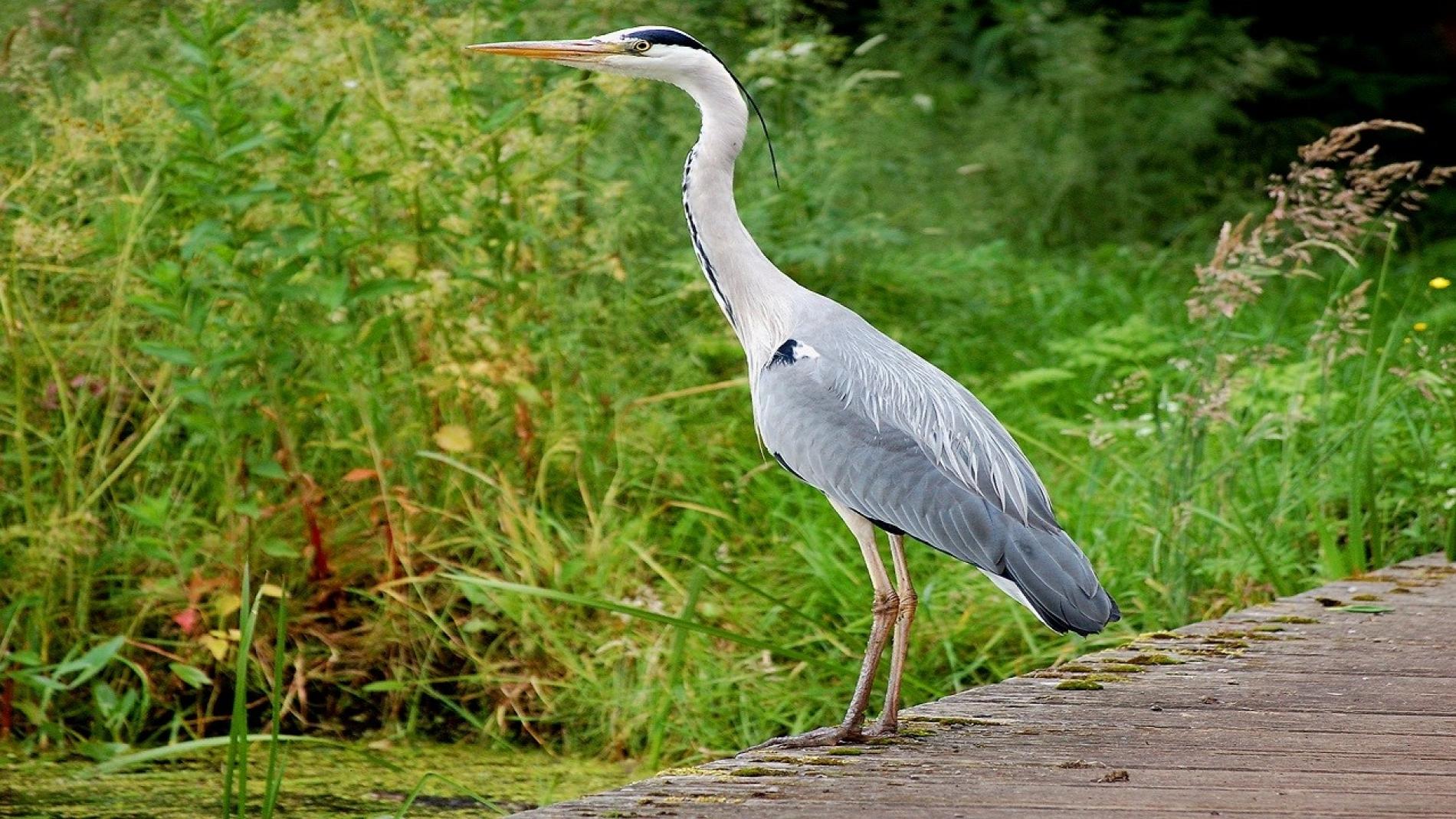 uccello acquatico