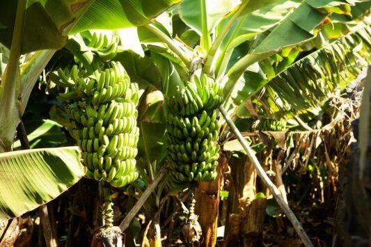 Banane di Gran Canaria