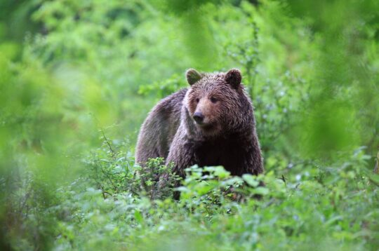 Orso bruno in slovenia