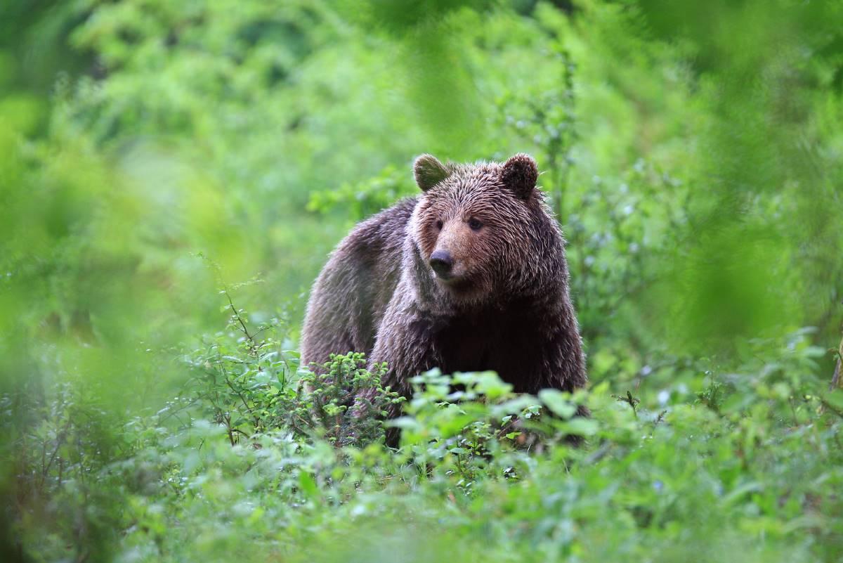 Orso bruno sloveno, crediti www.slovenia.info