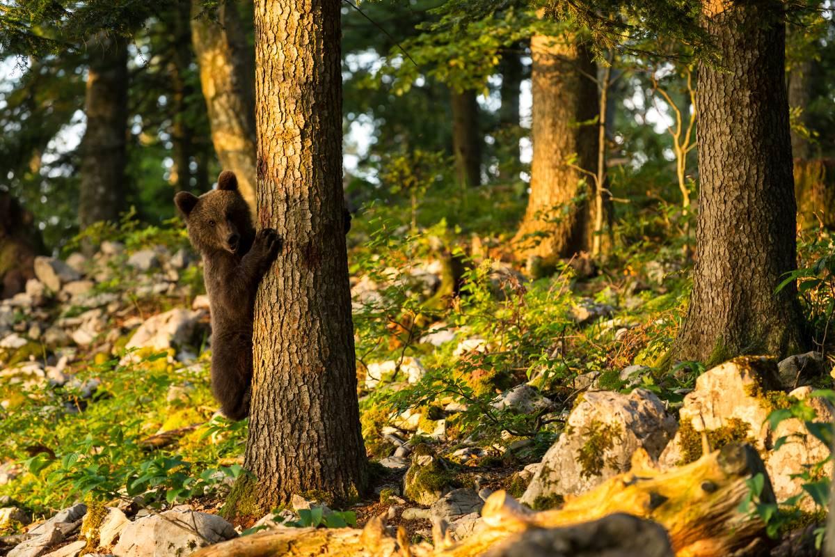 Orso bruno in Slovenia, crediti cristine sonvilla www.slovenia.info